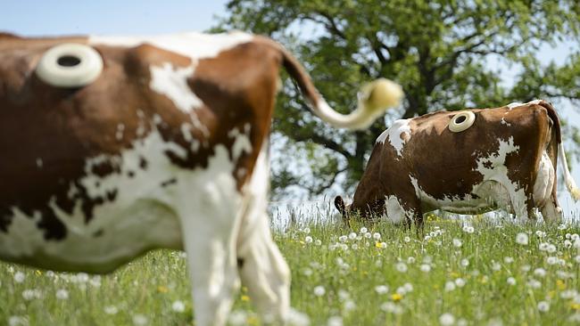 корова с фистулой