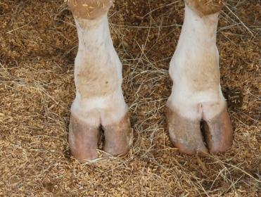 хромота у коров
