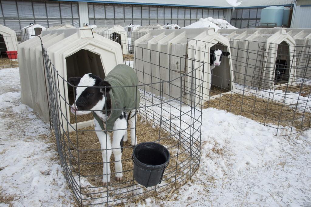 выращивание телят в холодных условиях